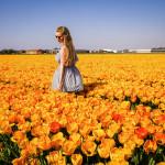 Geköpfte Tulpenfelder in den Niederlanden