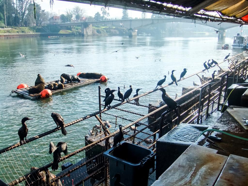 Am Fischmarkt haben ganz viele Tiere auf den Feierabend gewartet, in der Hoffnung, dass sie die nicht verkaufte Ware zu futtern bekommen. Auch haben die Vögel die unverkäuflichen Fischreste aus den Mülltonnen geholt, teilweise verteilt (oder besser verloren) und gefuttert.