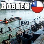 Seelöwen planschen im Fluss in Valdivia – 2 Monate Chile: Schüleraustausch